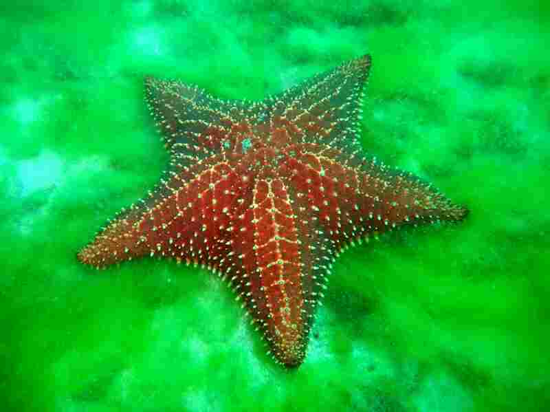 "A starfish moves along the bottom of a sandy bay entrance that connects the reef to areas dominated by seagrass fields and mangroves. These inland bays are important ""nursery habitats"" for many fish species found on the reef."