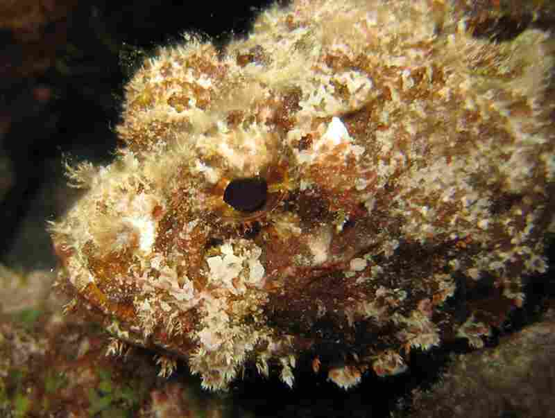 A scorpionfish elegantly blends in with the sea floor. Well camouflaged, it waits for small fish to pass by, then quickly engulfs them with its large mouth.