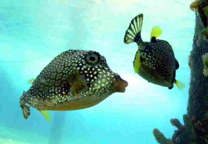 """Smooth trunkfish explore the underwater pilings in front of the CARMABI research station. These fish """"blow"""" water to stir up small bottom dwelling creatures, then eats them."""