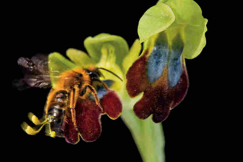 The lengths to which these orchids have gone to resemble female bees is a natural marvel. To this male bee, a wild Italian hybrid orchid resembles his female counterpart.