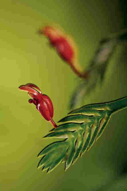 These rabbit-shaped blooms in Borneo are no larger than your fingernail, and belong to a tropical genus on the Equator that may date back as far as 80 million years.