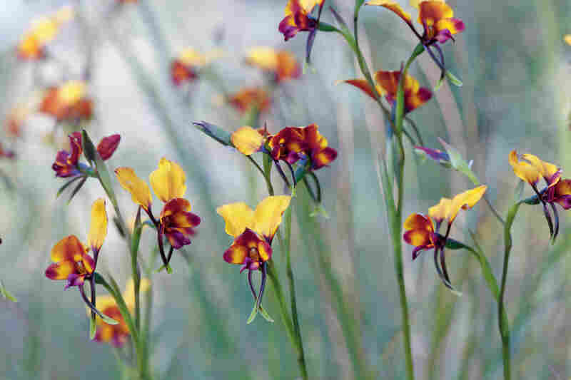 This nectarless pansy orchid, found in Australia, closely resembles a neighboring plant, the pea flower.