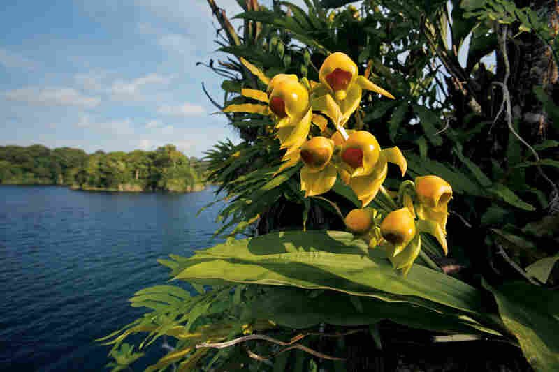Not only have orchids made incredible adaptations in appearance, they are also mechanically complex. These male Catasetum flowers hide a pollen-loaded slingshot, which fires a sticky bundle when a pollinator, such as a bee, jostles it.