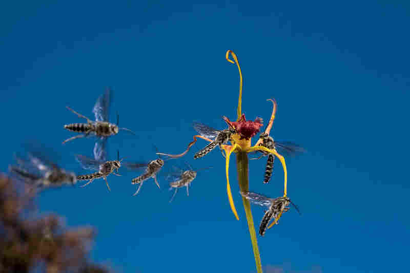 Every orchid has a petal modified for pollination, such as the red petal on this Australian king spider orchid.  The perfume from this flower attracts several male wasps, one of which will take away the plant's pollen.