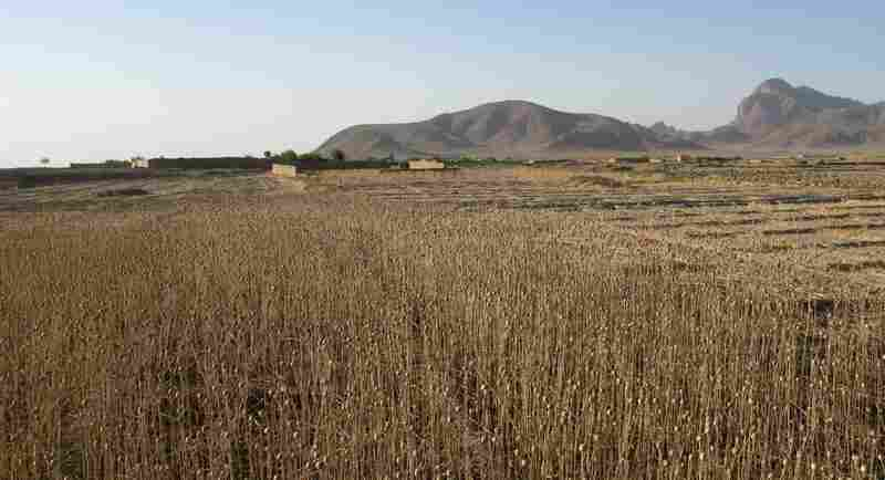 A dried-out opium poppy field is seen outside Dahaneh. The Taliban reaps profits from the many fields cultivated here and also taxes residents.