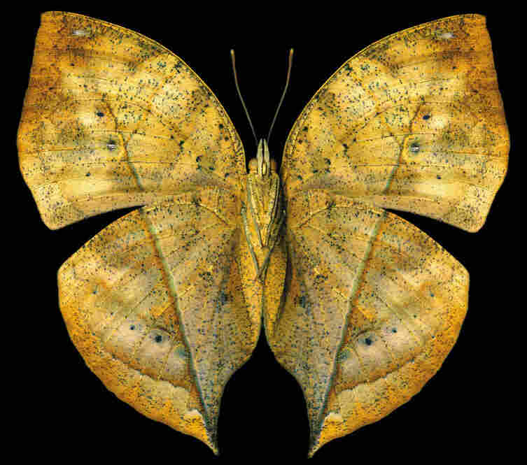 Indian Leaf, Kallima paralekta, Asia