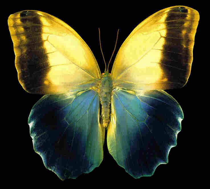 Owl Butterfly, Caligo memno, Central America