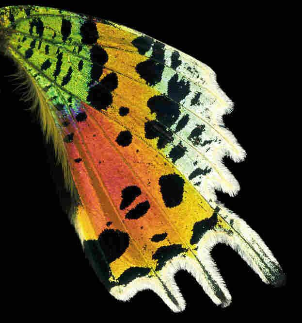 Sunset Moth, Chrysiridia riphaeus, Africa