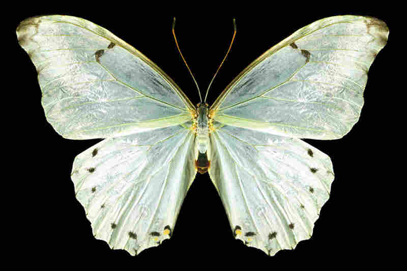 White Morpho, Morpho polyphemus, South Africa