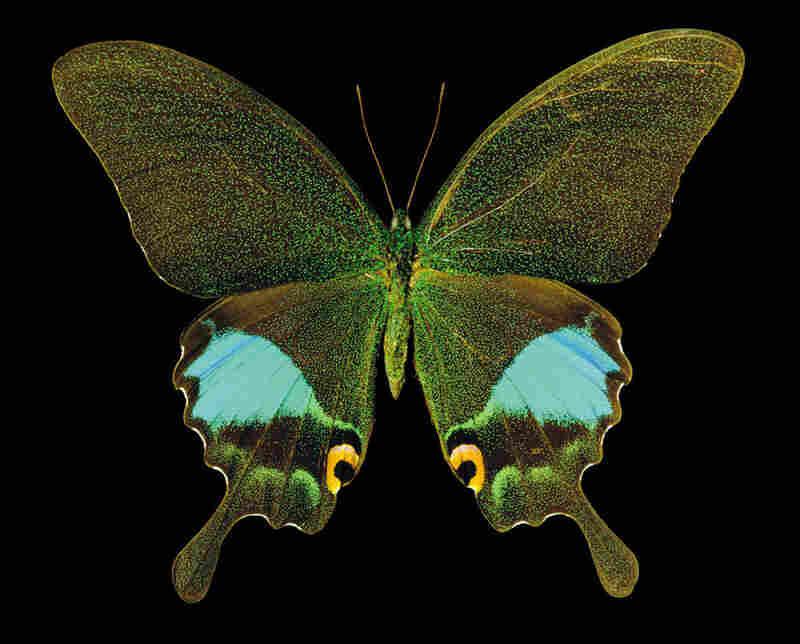 Glass Swallowtail, Papilio karna, Asia
