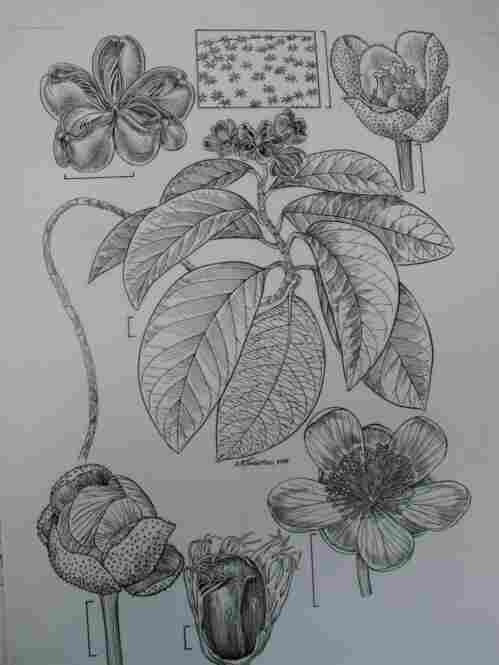 The finished drawing of the Tetracera asperula, showing leaves, buds and flowers, will become a plate in the scientific journal The Flora of the Guianas.