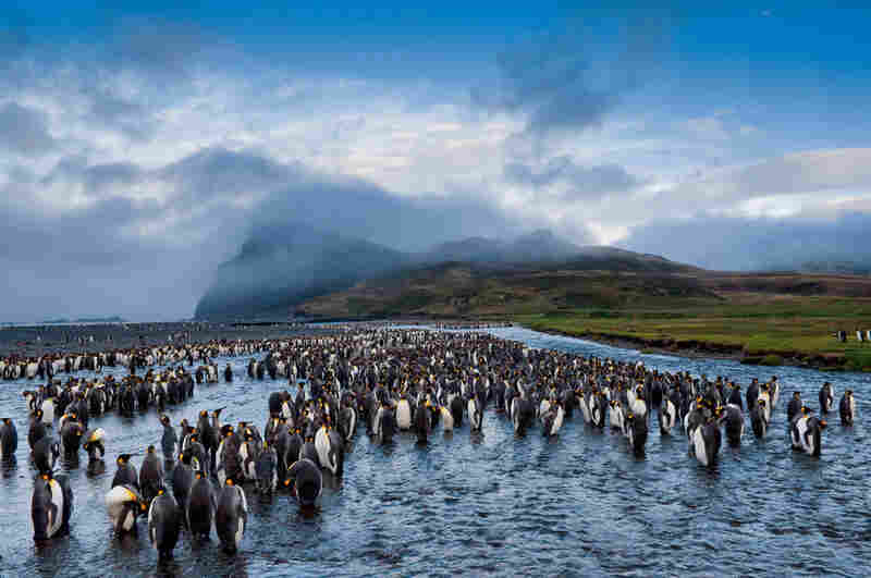 On a remote, ice-free realm north of Antarctica, king penguins gather at American Bay on Possession Island to molt before mating season.