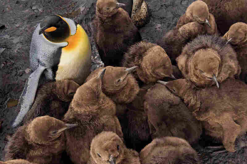 Once king penguin chicks reach a few months of age, they lose the attentive care of parents and must keep together for safety and warmth. The chick mortality rate is very high; many die in the winter.