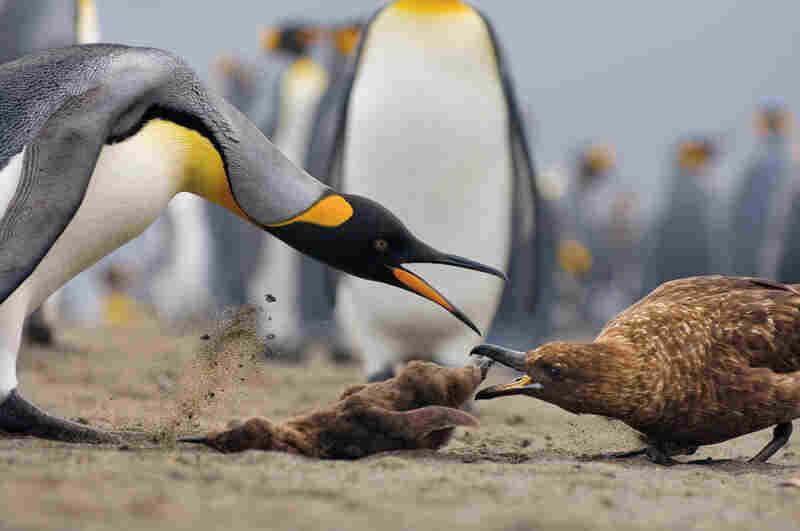 An adult king penguin challenges a skua attempting to take off with a freshly killed chick.