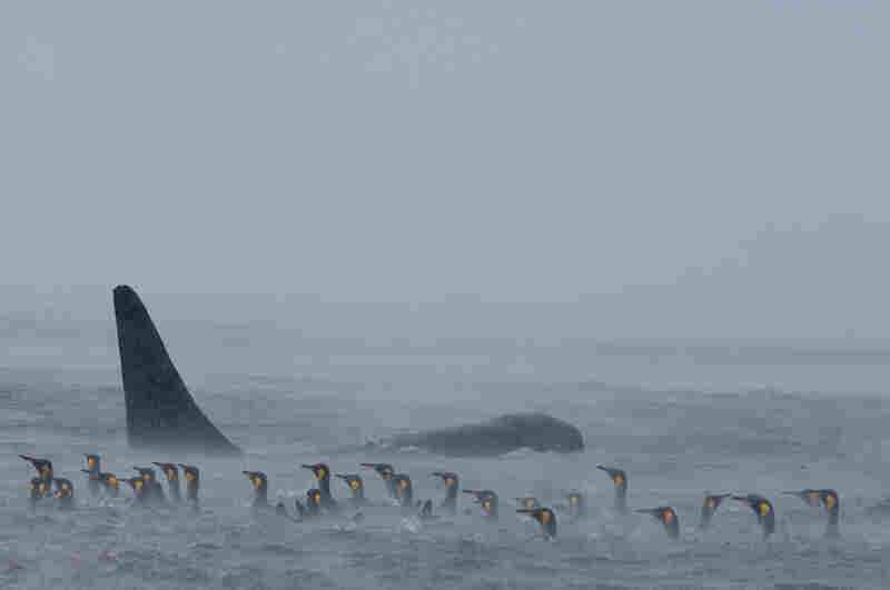 Whales may seem like gentle giants, but orcas such as this one will eat whatever they can get, which is bad news for these penguins.