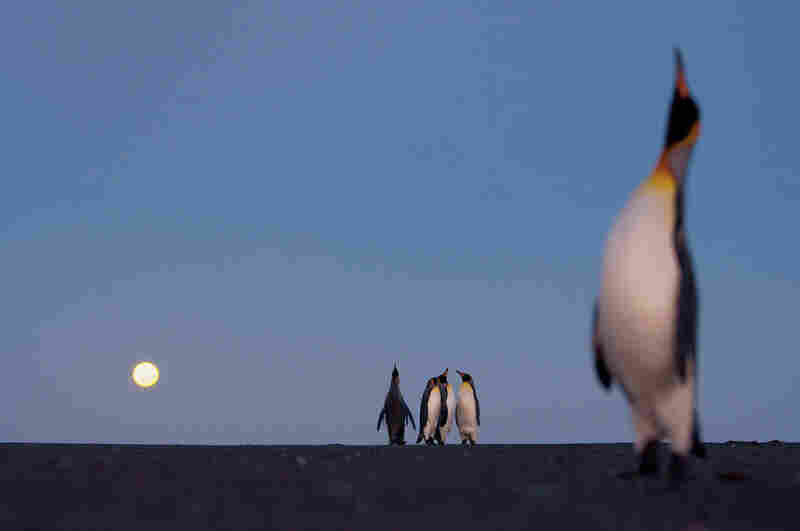 """King penguins gather each year for """"ecstatic display."""" Birds of both sexes do what they can to market themselves by puffing their chests, lifting their heads and calling out to potential mates."""
