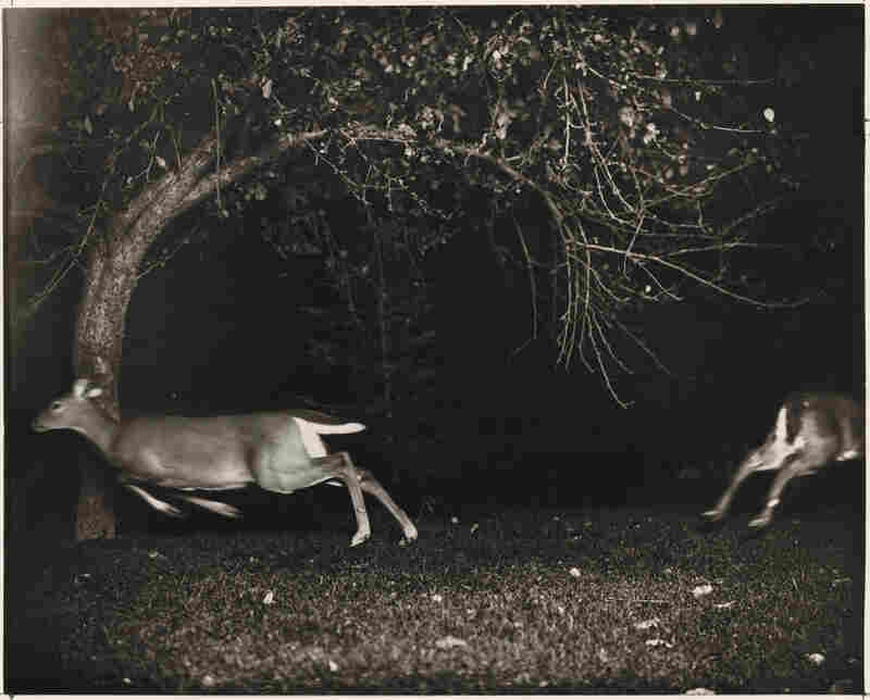 Hunting Deer with a Camera, Northern Michigan. George Shiras III did some of the earliest work in nighttime flash photography. He later became a U.S. representative to Congress from Pennsylvania.