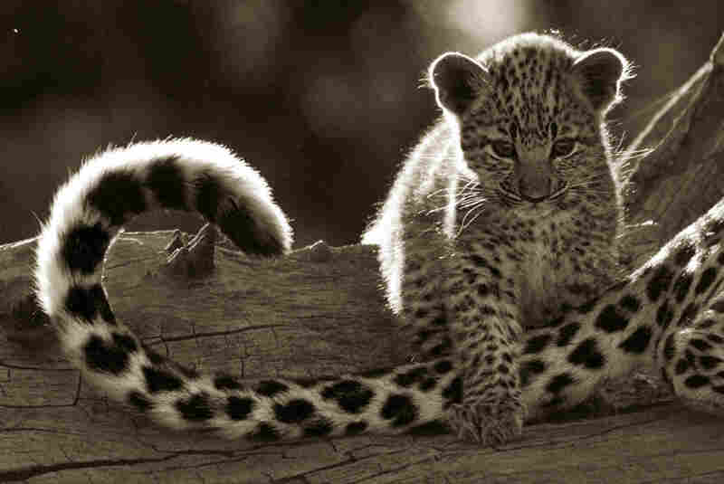 """They met Legadema when she was about 8 weeks old. Terrified during a lightning storm, the baby leopard curled up by the foot of the Jouberts' truck seeking comfort  — hence her name, which means """"light from the sky"""" in Tswana."""