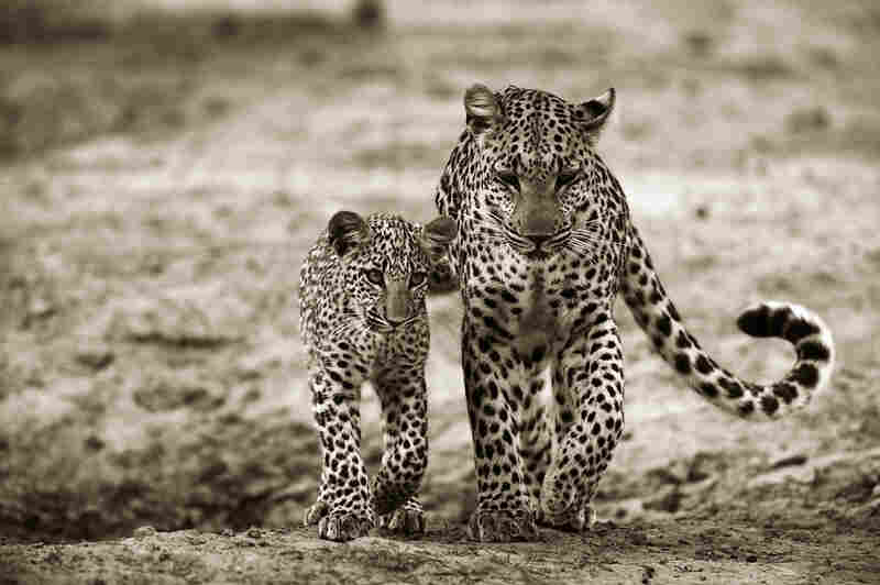 The Jouberts followed Legadema and her mother, and noted the ways in which the young leopard imitated her mother's movements.
