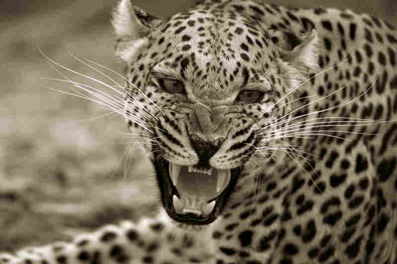 According to Beverly Joubert, 10,000 leopards were shot illegally during the time that the book was produced.