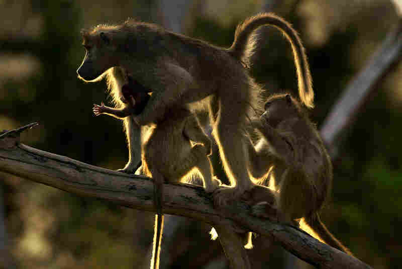 Perhaps because of a decreasing number of predators, the baboon population is growing swiftly in Mombo, and in Botswana in general.