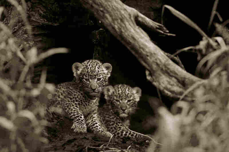 Despite the sharp decrease in the leopard population, life continues for many. Legadema herself gave birth to two young cubs.