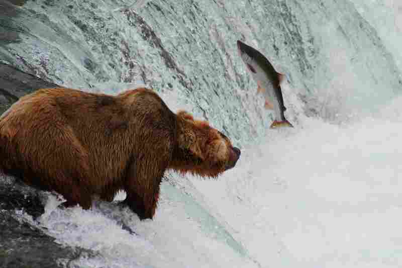 Grizzly bear fishing for salmon in Brooks Falls at Katmai National Park and Preserve, Alaska