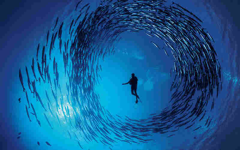 Doubilet took this series while on assignment in New Ireland, Papua New Guinea. It shows a diver surrounded by Pacific barracuda.