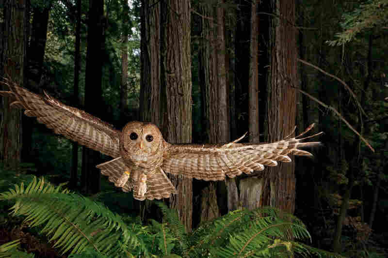 "National Geographic photographer Michael ""Nick"" Nichols also spent a year in the redwood forest. A tagged northern spotted owl swoops toward a researcher's lure in a young redwood forest."