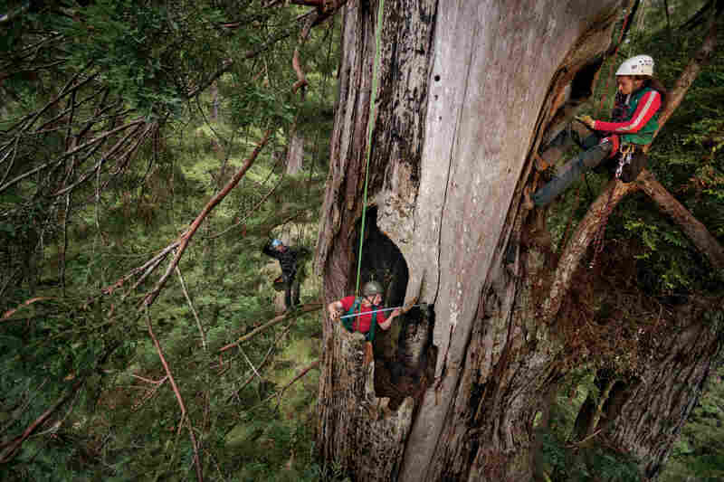 Humboldt State University scientist Steve Sillett (center) is a pioneer of redwood research. He and his team measure a fire cave in a massive redwood.