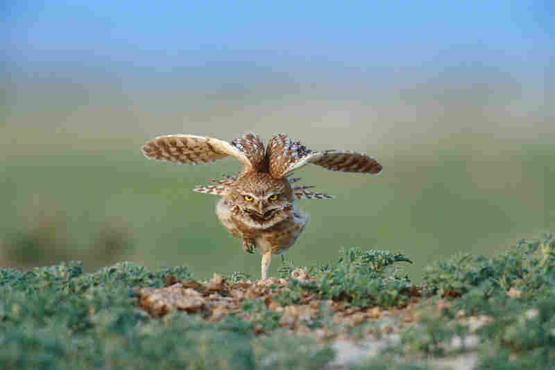 A burrowing owl stretches in the Conata Basin of Buffalo Gap National Grassland, South Dakota. According to The Nature Conservancy, grasslands are among the most imperiled areas on Earth, and only a fraction of the grass that once covered 95 percent of South Dakota remains today.