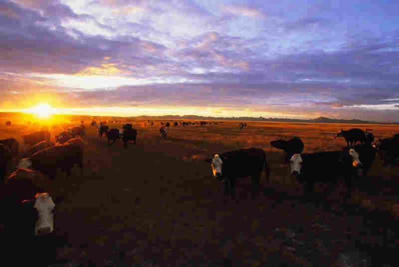 Cattle graze at sundown in Conata Basin.