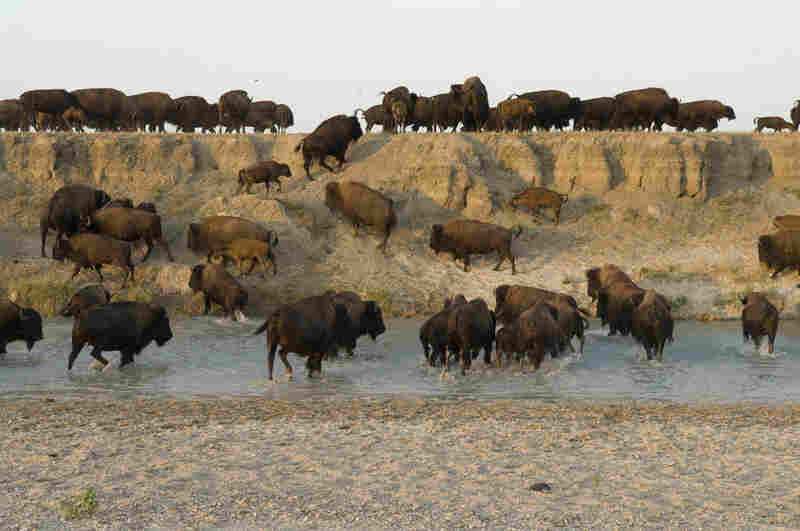 A bison herd moves across the shallows of the Cheyenne River in South Dakota. Bison only require water every few days, an advantage for Great Plains grazers.