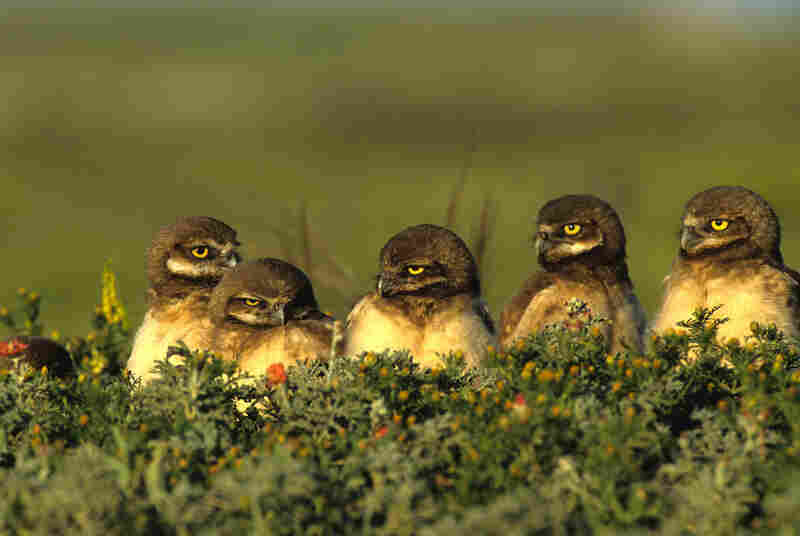 Burrowing owl chicks wait for adults to bring back food in Conata Basin, S.D.