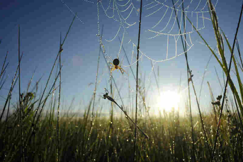 An orb weaver spider captures a damselfly in its web on the edge of a sedge meadow, an area of wetland dominated by sedges and grasses, in Minnesota's Pembina Trail Preserve.