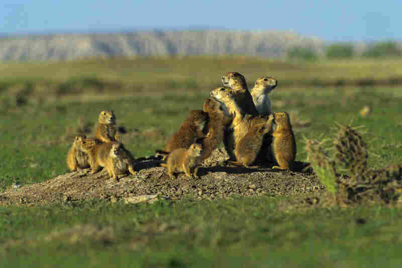 Black-tailed prairie dogs socialize with kisses and grooming. They contribute to the ecosystem by aerating and fertilizing the soil, but have been reduced in numbers by over 90 percent in the past century, Buffalo Gap National Grassland, S.D.