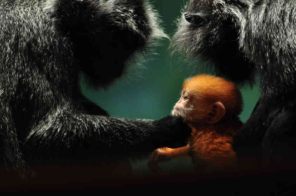 A newborn gibbon gets some attention from his doting parents at the Columbus