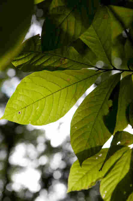 Tropical plants, like this papaw tree, share the sunlight with the more temperate oaks, maples and walnuts.