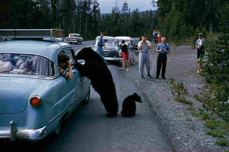 People and bears eye each other in Yellowstone. Wyoming, 1950s