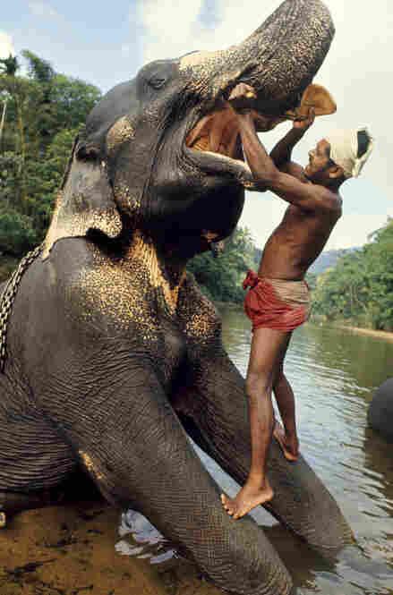 A mahout, or elephant keeper, brushes his elephant's teeth. Ceylon, India, 1966