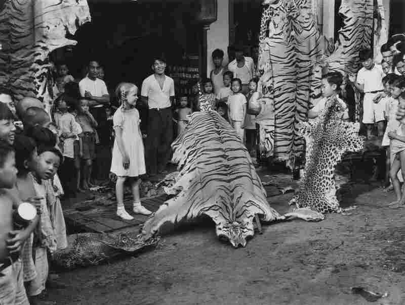 Tiger and leopard skins on display, Singapore, 1939