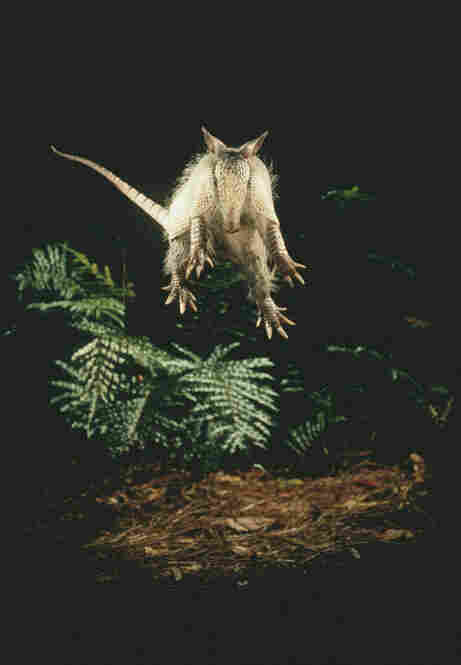 A leaping armadillo, Florida, 1982