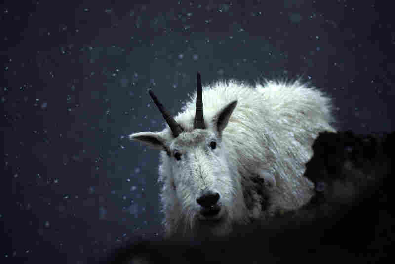 From its craggy winter haunts, a mountain goat peers at an intruder.