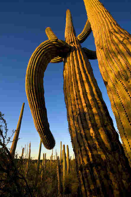 Giant Saguaro, Saguaro National Park, Ariz.