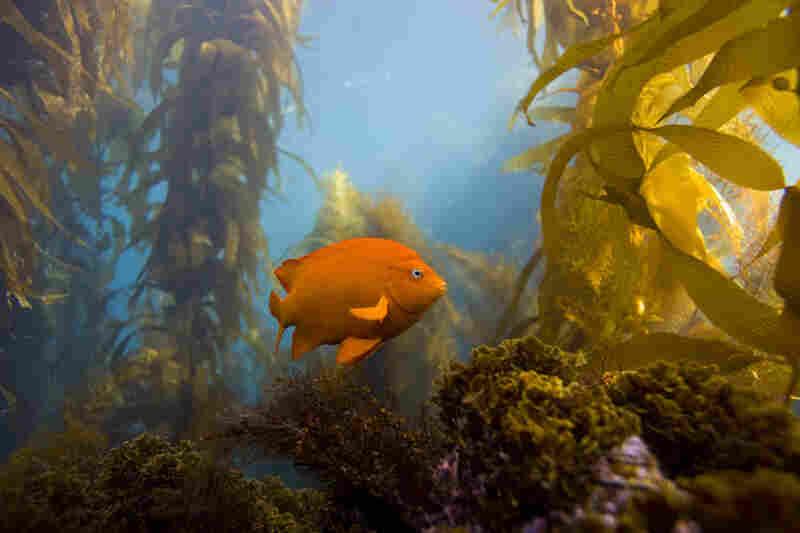 Garabaldi, Channel Islands Marine Sanctuary, Channel Islands National Park, Calif.
