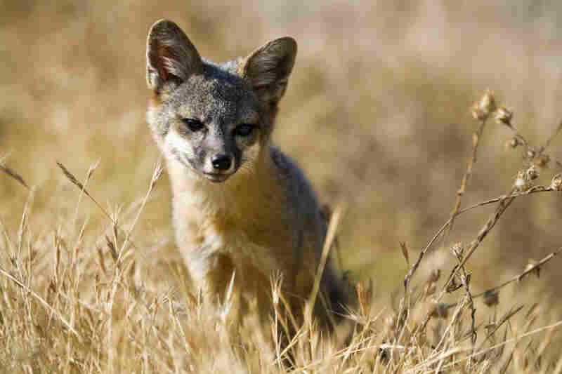 Santa Cruz Island fox, Challen Islands National Park, Calif.