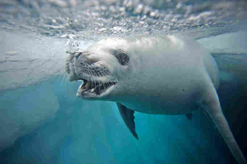 When the gulf waters freeze over during the Antarctic winter, crabeater seals hunt for the krill that lives underneath the ice surface.