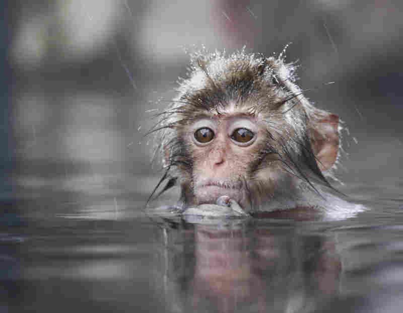 A young snow monkey (Japanese macaque) warms up in a hot spring in Japan.