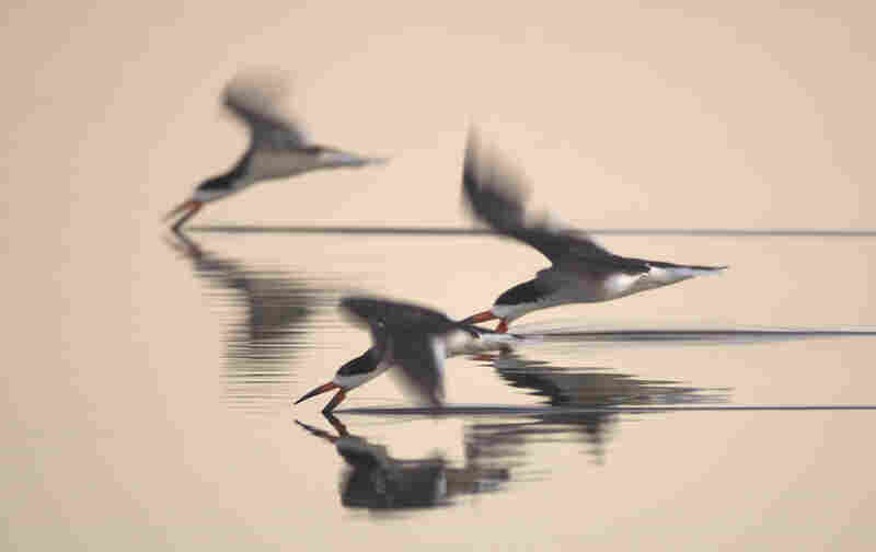 """A trio of black skimmers feeding at dusk in a pond on the beach in Santa Barbara, Calif."""