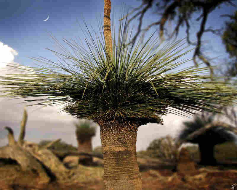 """This is a Kangaroo Island Yacca or Tate's Grass Tree. Unique to the island, this yacca's gum resin is harvested and shipped to Germany to make high-quality fireworks. Resilient in bush fires, these trees can be hundreds of years old."""